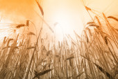 Sun over grain field — Stock Photo