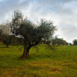 Isolated olive tree — Stock Photo #58670535