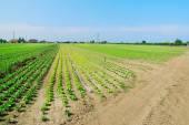 Amazing field of salad — Stock Photo
