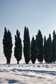 Cypress lined — Stock Photo