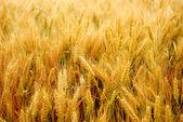 Corn wet from the dew — Stock fotografie