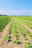 Field of salad in summer — Stock Photo