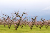 Numerous peach trees under the sky — Stock Photo