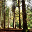 Sunbeam into the forest — Stock Photo #78816168