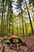Amanita muscaria — Stock Photo
