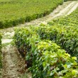 Rows of grapes in the field — Stock Photo #64206713