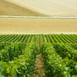 Fields and rows of grapes in the countryside — Stock Photo #64207449