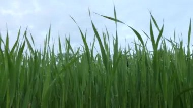 Green fresh plants sprouts in a field  with drops after rain dolly shot — Stock Video