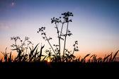 Sunset flora Silhouette — ストック写真