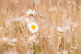 Marguerites flowers with bokeh — Stock Photo
