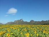 Beautiful sunflower field — Photo