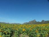 Beautiful sunflower — Photo