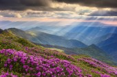 Rhododendron in the Carpathians — Stock Photo