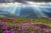 Rhododendron in the Carpathians — ストック写真