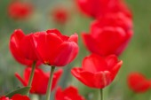 Beautiful blooming tulips. — Stock Photo