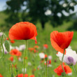 A field full of red poppies — Stock Photo #56263921
