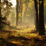 Forêt mystérieuse de brouillard dans le soir d'automne — Photo #56264037