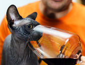 Sphynx cat with glass of red wine — Stock Photo