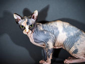 Beautiful sphynx cat portrait — Stock Photo