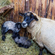 Cute little lamb with mother sheep — Stock Photo #65668295