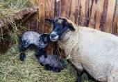 Cute little lamb with mother sheep — Stock Photo