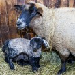 Cute little lamb with mother sheep — Stock Photo #65670035