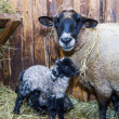 Cute little lamb with mother sheep — Stock Photo #65671189