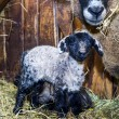 Cute little lamb with mother sheep — Stock Photo #65672273