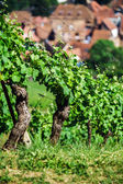 Green vineyards of Alsace, France — Stock Photo