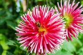 Hommel over roze bloem, zomertuin — Stockfoto