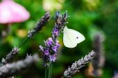 Butterfly flying over lavender flowers — Stock Photo