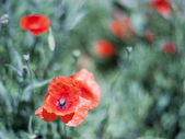 Poppies on a background of green grass. — Stock Photo