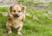 Little dog looking at the camera — Stock Photo