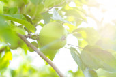 Apple garden on a sunny summer day — Stock Photo