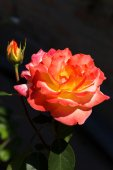 Beautiful bright Beautiful delicate rose in backlight on a dark  — Stock Photo