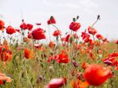 Authentic landscape of wild red poppies against the sky as backg — Stock Photo
