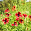 Authentic landscape of wild red poppies on a background of green — Stock Photo #75933435