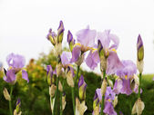 Authentic landscape wild delicate irises, as background for desi — Stock Photo