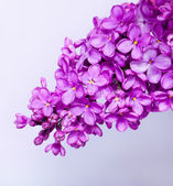 Purple lilac blooming flower buds — Stock Photo
