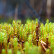 Green and red moss growing in the forest — Stock Photo #58181177