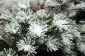Pine needles and branches covered with snow — Stock Photo
