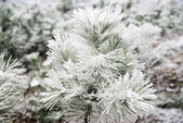 Pine needles covered with snow — Stock Photo