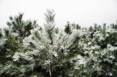 Pine and pine needles covered with snow — Stock Photo