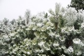 Pine and pine needles covered with snow — Foto Stock