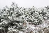 Pinheiros cobertos de neve — Foto Stock