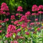 Red Valerian flowers in garden — Stock Photo #69600439