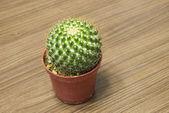 Home furnishings cactus — Stock Photo