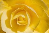 Rosa amarilla — Foto de Stock