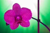 One orchid flower against a green background — Stock Photo