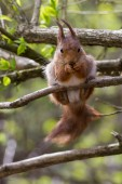 Eurasian red squirrel eating and looking into the camera — Stock fotografie